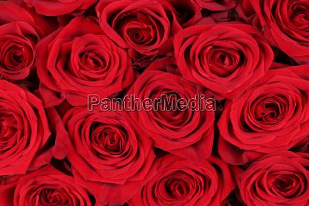 fondo rosas rojas para el dia