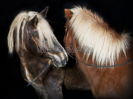 two horses in front of black