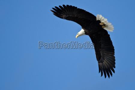Aguila calva de caza en el