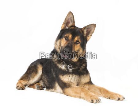 schaeferhund liberado