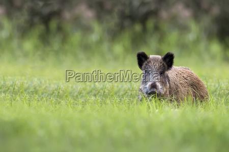 wild boar in a clearing