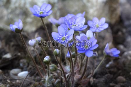 azul flor planta las maravillosas flores