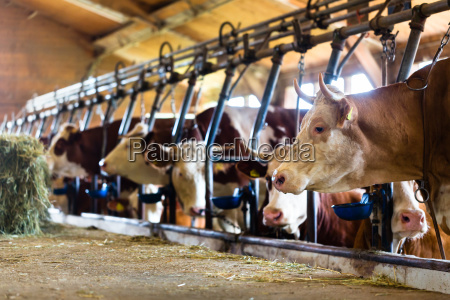 las vacas en el establo comen