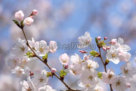 rama floreciente de la flor de