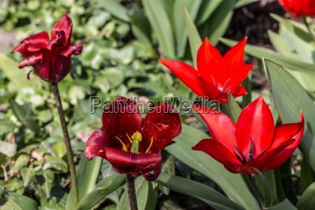 flores flor planta tulipan taza lirios