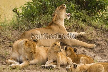 leones mantener un ojo sobre su