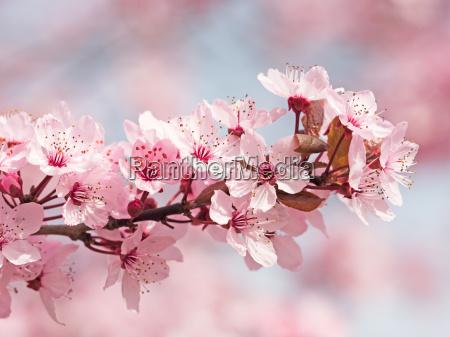 flor de cerezo japonesa