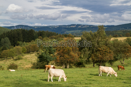 el pastoreo de ganado