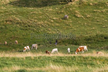 arbol montanyas verano veraniego las vacas