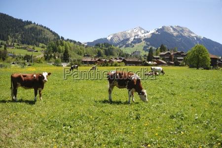 los animales vacas