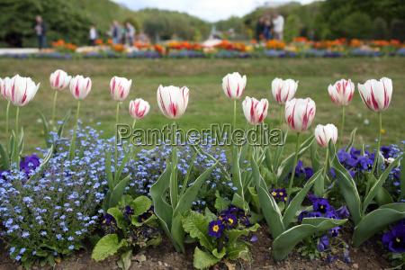 tulipanes en el jardin