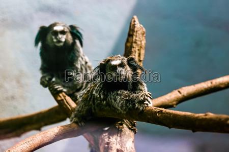 los monos titi negro tufted