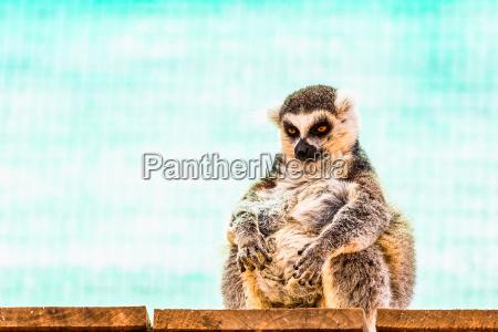 lemur gracioso y graso