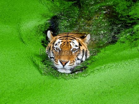 tigre siberiano nadar en agua