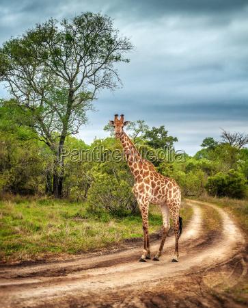 jirafa salvaje sudafricana