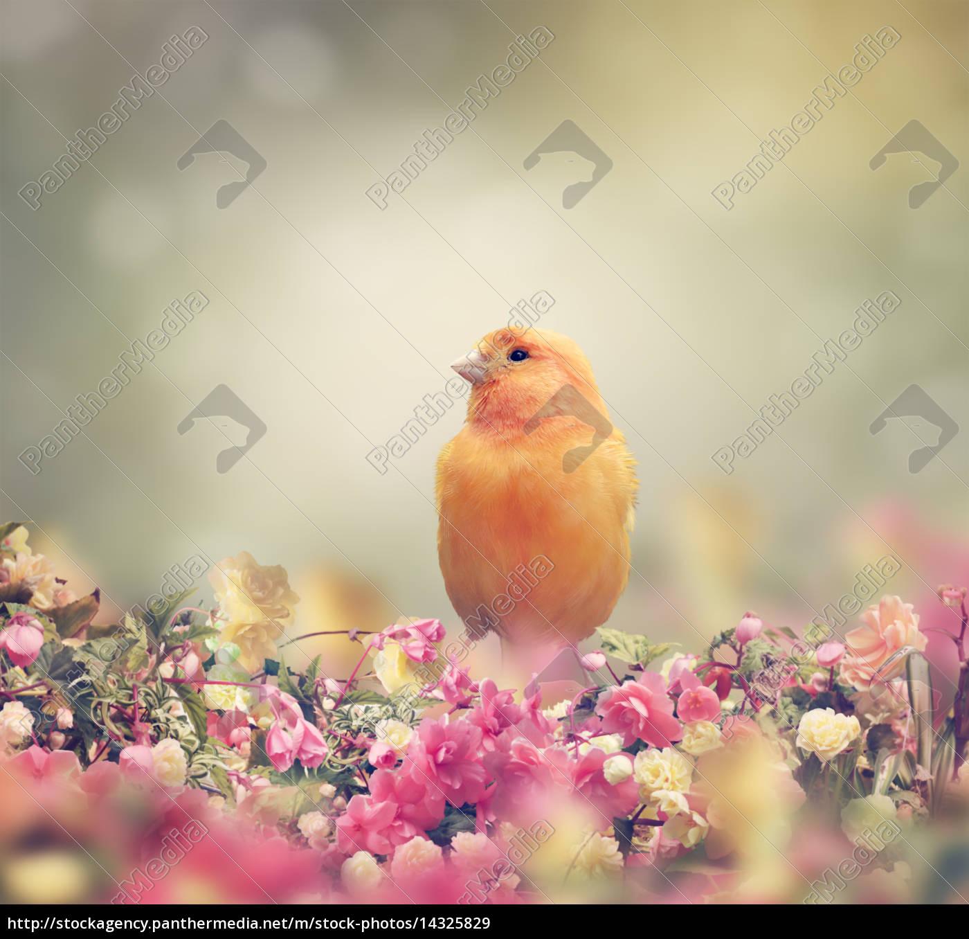 pájaro, amarillo - 14325829