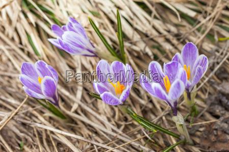 azafranes purpura