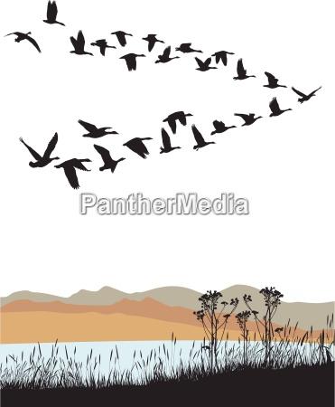 la migracion de gansos salvajes sobre
