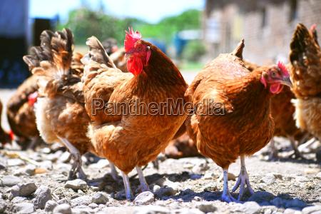 produzione bestiame fattoria pollame libero pollo