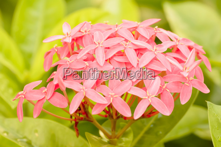 ixora is flowering plants its beautiful