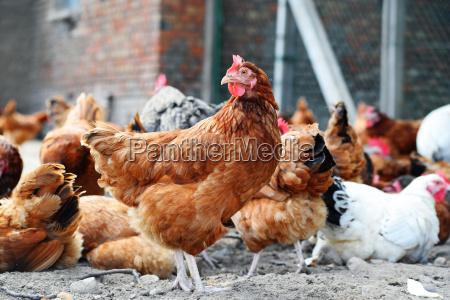 animale uccello fattoria pollame libero pollo