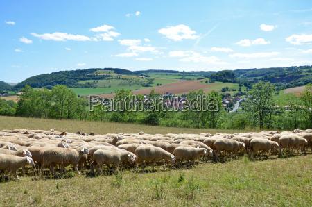 rebanyo de ovejas
