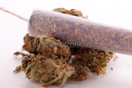 secado de cannabis flores hierba con