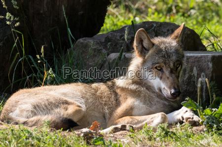 mentira domar cansado lobo latente solo