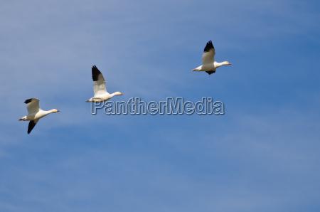 tres gansos de nieve volando en