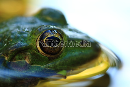 pond or water frog