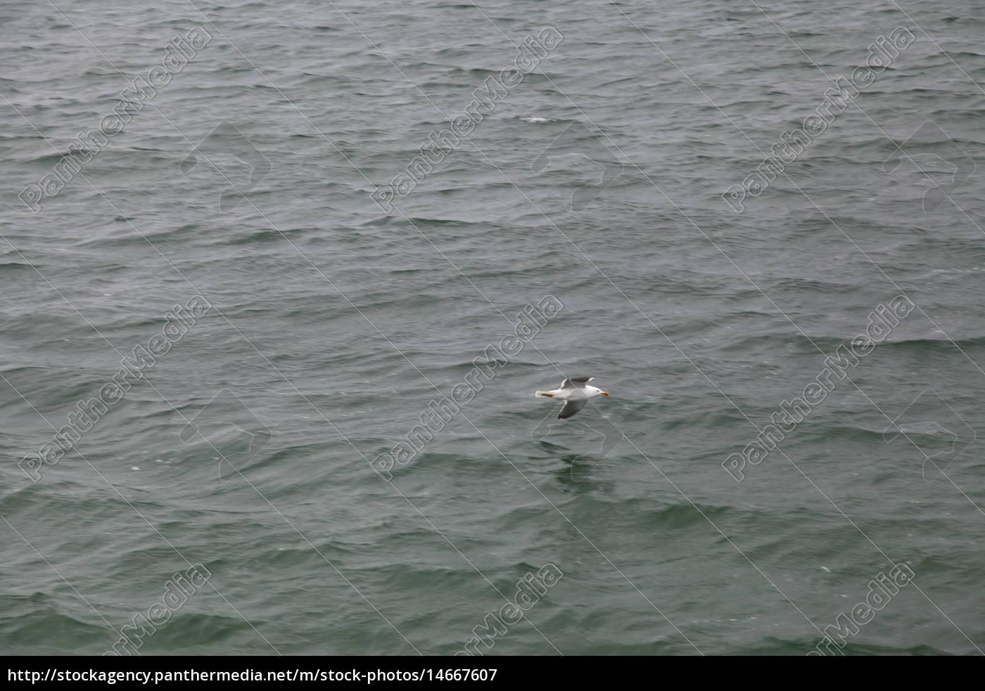 vuelo, animal, pájaro, de agua, mar del norte, de agua salada - 14667607