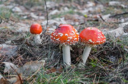 toadstool rojo en un bosque