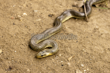 natrix maura serpiente