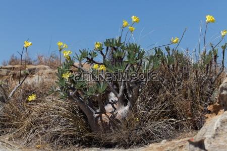 africa flores madagascar sangrar endemico amarillo