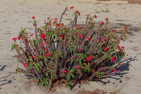 africa flores madagascar sangrar rojo toxico