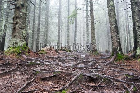 arbol madera salvaje tronco pino niebla