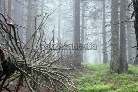 arbol madera salvaje pino niebla botanica