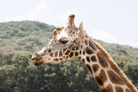 giraffe showing teeth