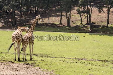 giraffe walking