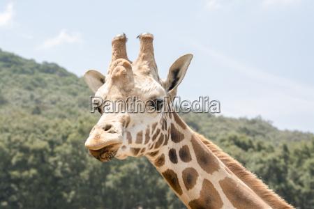 giraffe front look