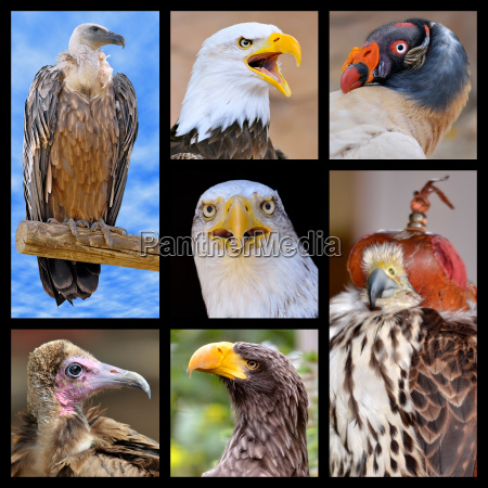 mosaico fotos aves rapaces