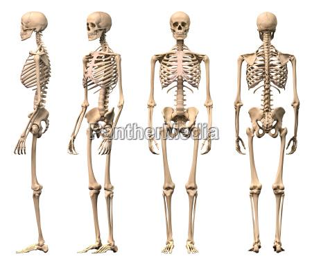 hombre esqueleto humano cuatro vistas frontal