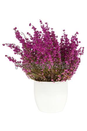 purple heather in the white pot
