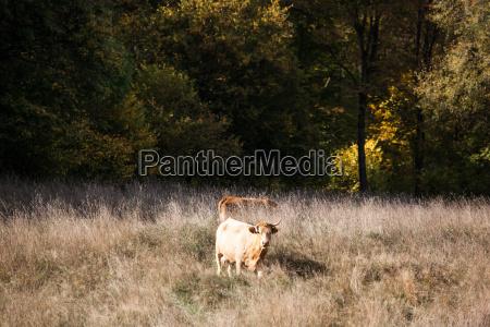 los animales ganado produccion animal prado