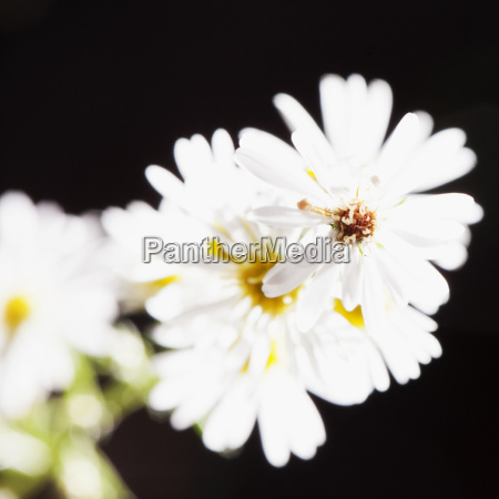 white daisy in a bunch