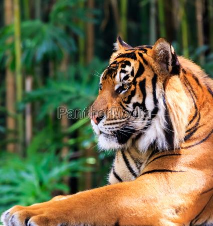 tigre regal