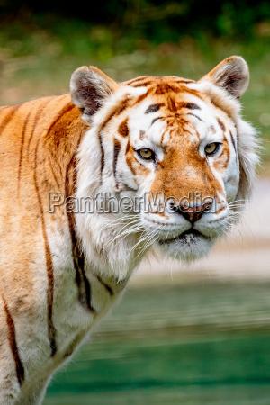 el envejecimiento del tigre