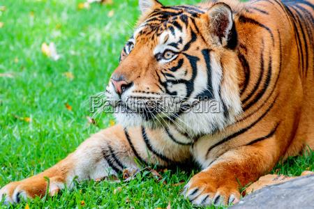 pre ataque repentino del tigre