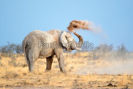 elefante africano en polvo