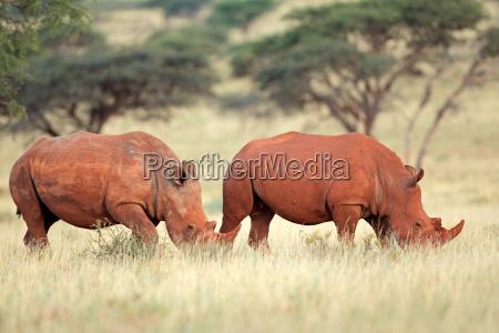 cuerno fauna rinoceronte